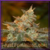 DNA Genetics Cataract Kush Fem 6 Cannabis Seeds